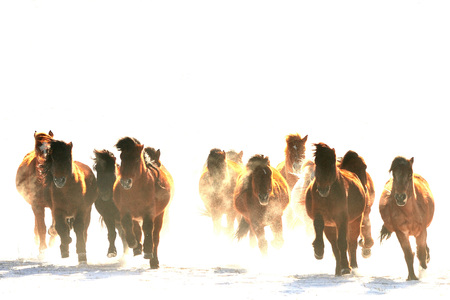 mongolia horse: horse racing Stock Photo