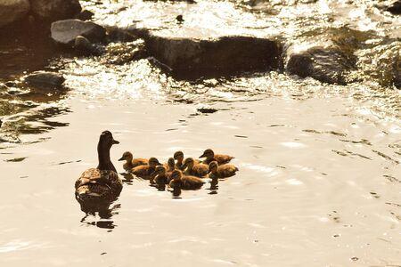 agachado: pato familia