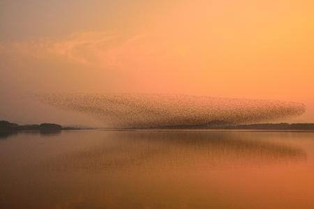 bandada pajaros: Bandada de pájaros - Baikal Teal