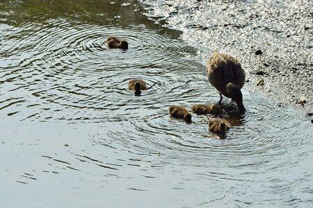 agachado: familia del pato, pato de la familia en busca de comida en un arroyo
