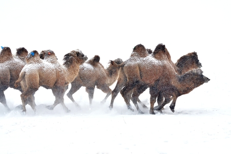 running camel: camel running, horse race on the snow, china