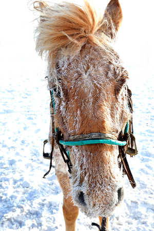 running nose: horse head, horse head on the snow, china Stock Photo
