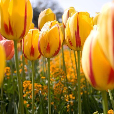 midst: Closeup of yellow-red tulips midst. Background unsharp. squarish