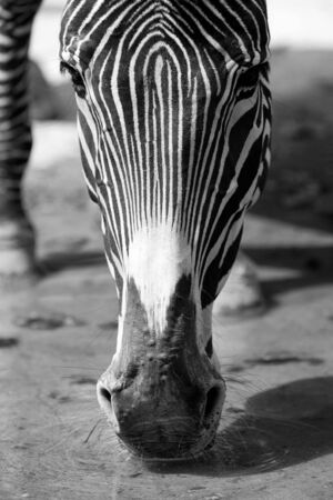 frontal view: A zebra drinking (black and white). Frontal view - CLOSE-UP Stock Photo