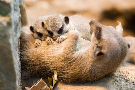 Meerkat-Mother with two sucking babies