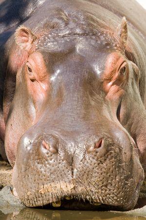 voluminous: Hippopotamus, close-up. Frontal direct into the ugly face. Stock Photo