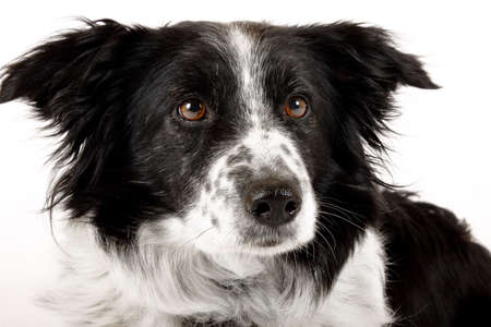 border collie dog being alert against a white background