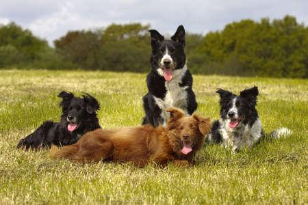 4 dogs sitting in open field