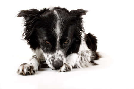 border collie dog licks paw clean against white background Stock Photo