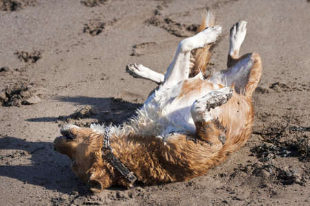 Small dog rolling on a beach