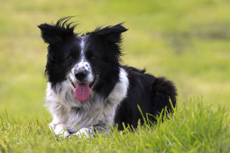 happy border collie dog lying down in field