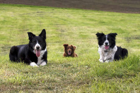 3 border collie dogs sit in open field Stock Photo
