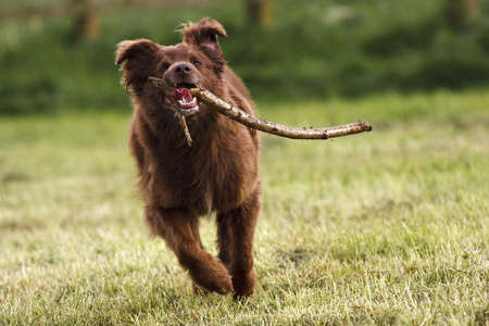 border collie dog running with stick in mouth over open field