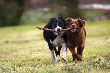 black dog: 2 border collie dogs fetching a stick in open field