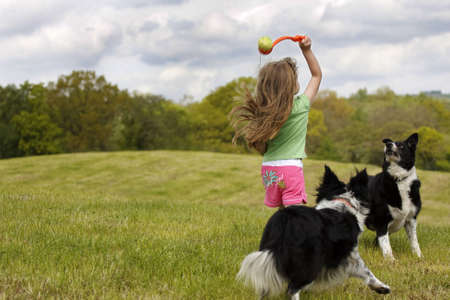 Young girl throws toy ball for 2 border collie dogs in open field in daytime.