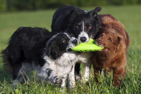 3 border collie dogs play with toy frizbee in open field.