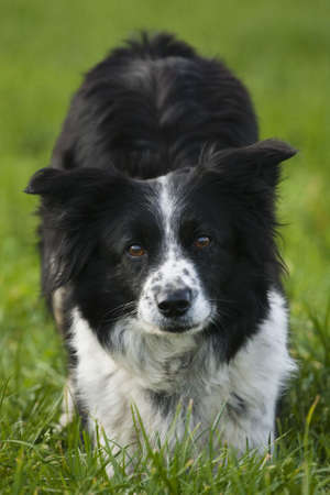 Collie waits for command photo