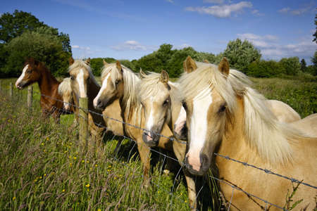 Horses peer over wire fence from within open field