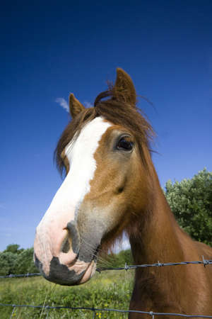 peers: Horse peers over wire fence from within open field