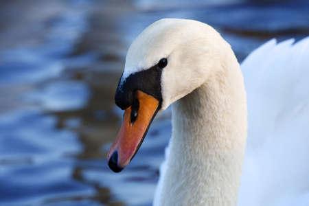 contemplates: A swan queitly contemplates on a calm lake.