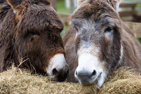 Two donkies eating hay