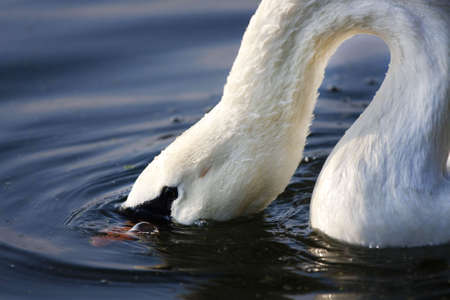 agachado: Swan de silencio en busca de alimento