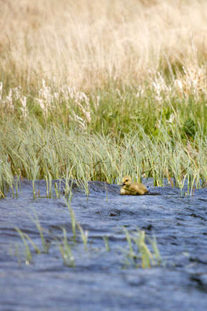 gosling: Young Canadian gosling swims away_1