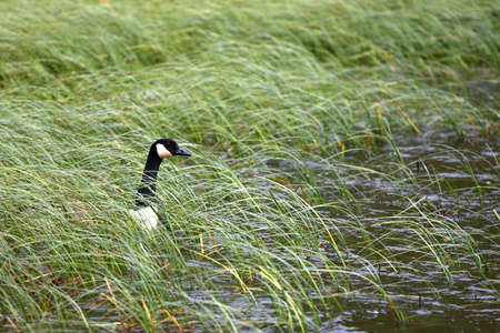 Canadian Goose checks the coast is clear_1