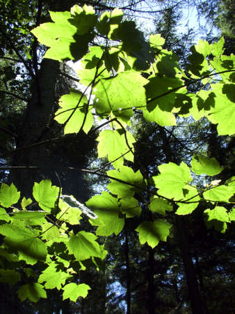 Sycamore leaves through the sunshine Stock Photo
