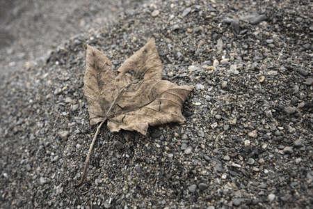 Dead acer leaf Stock Photo