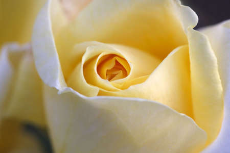 Close up of the Gracious Queen Rose Stock Photo