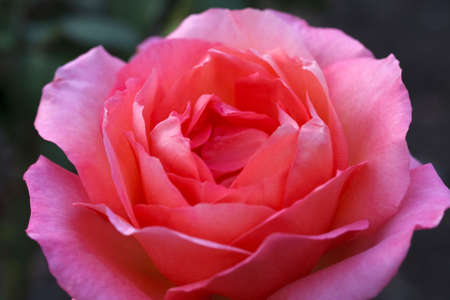 Close up of the 'Gracious Queen' Rose' Stock Photo - 6293125