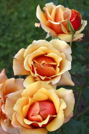 belle: Close up of the Belle Epoque Rose