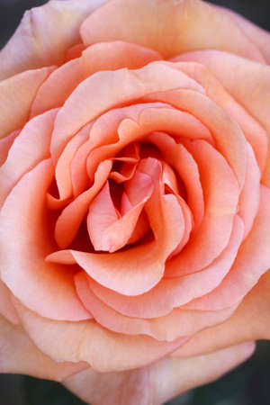 Close up of the Warm Wishes Rose Stock Photo