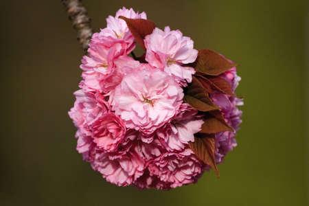 Wild cherry blossom Stock Photo