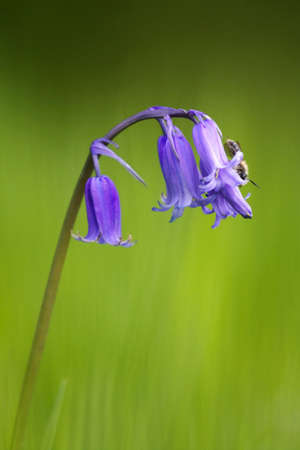 Insect lands on a bluebell flower Stock Photo
