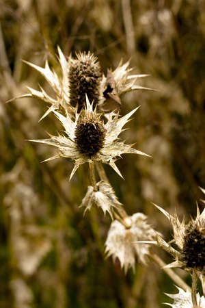 Dried thistles Stock Photo