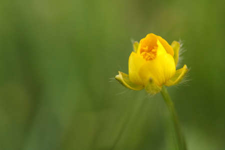 Buttercup on a sunny day Stock Photo