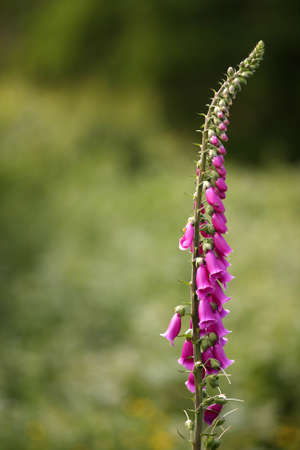 Single fox glove flower