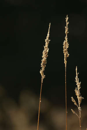 Dew drops  sparkle on brown grass