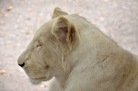 white lion photo