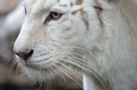 white tiger photo