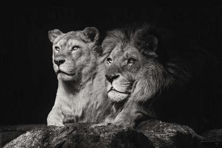 Retrato de una pareja de leones sentados de cerca sobre un fondo negro aislado Foto de archivo