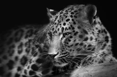 Portrait of a lying leopard close-up on an isolated black background Stockfoto