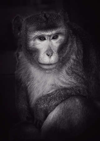 Portrait of an adult monkey on a black background Stock fotó