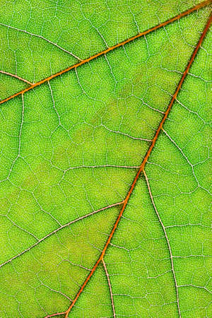 venation: Closeup on fresh, green leaf with red venation