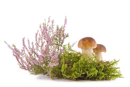 Two fresh porcini mushrooms in a green moss and heather isolated on white background photo