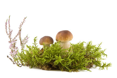 Two fresh mushrooms in a green moss and heather isolated on white background photo