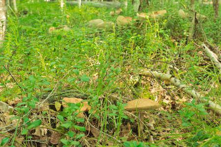 Aspen mushrooms growing in the mixed forest photo