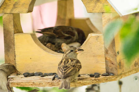 peck: Sparrows in a manger peck sunflower seeds Stock Photo